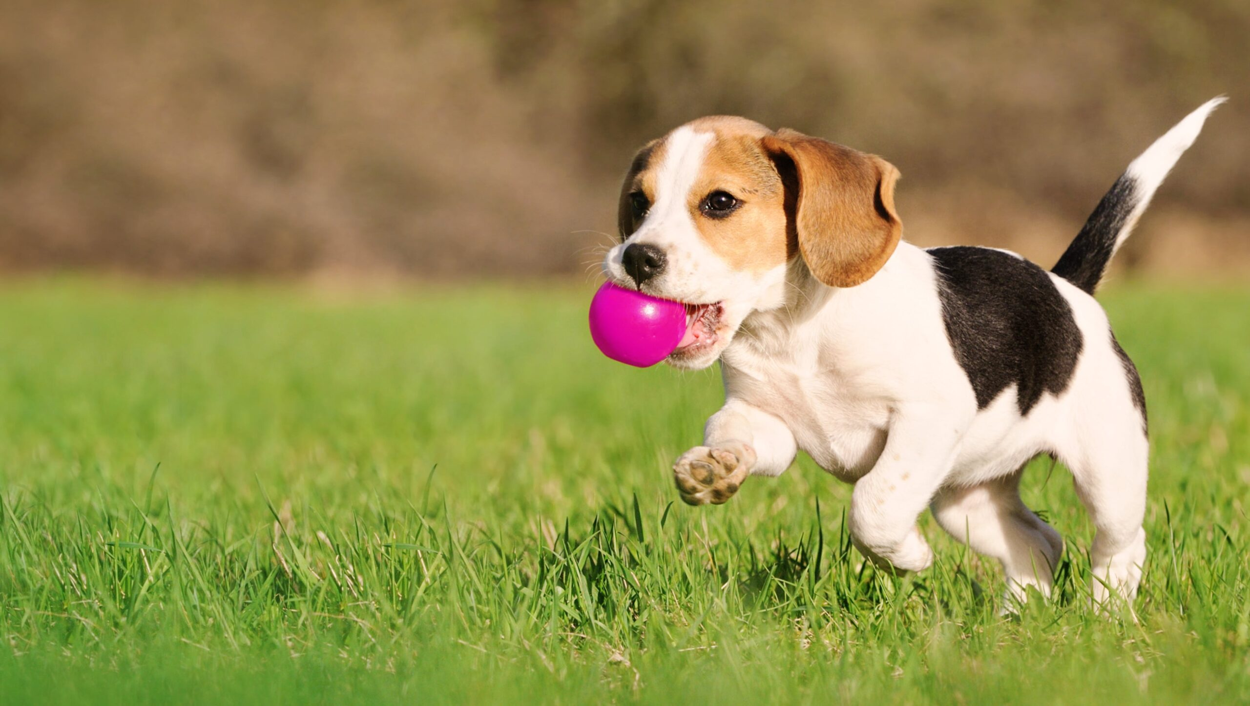 eukanuba-market-image-puppy-beagle